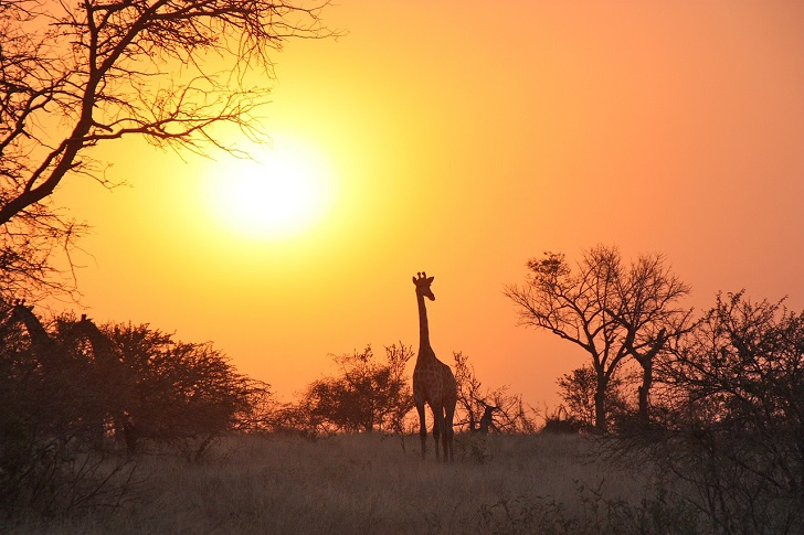 giraffe-1042618_1280