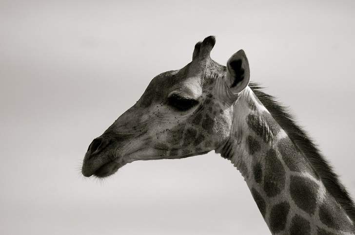 giraffe-352731_1280