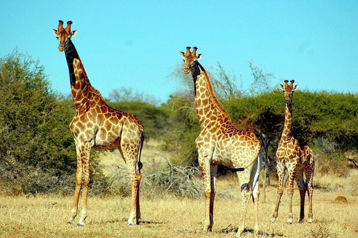 giraffe-394812_1280